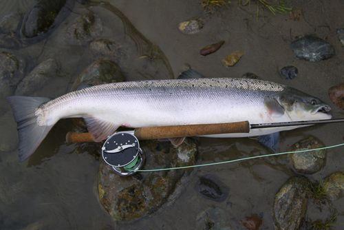 Salmon_still